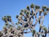 JoshuaTreeNationalpark3